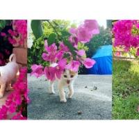 Bougainvillea (Floarea de hârtie) – SEZEN AKSU